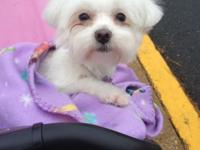Aaliyah is a 1yr old pure type Maltese. She is on the