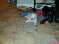 Maltese mix 4 month old female. She was bought for my