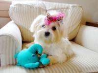 Princess is a beautiful female Maltese pup. She is 5