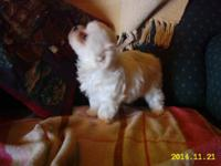 I am cute female maltese looking for a for life and