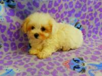 She is a very tiny and lovable Malti-Poo puppy!
