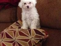 Beautiful maltipoo pup available. 9 wks old. Mother is