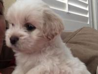 I should rehome this cute female Maltipoo new puppy.