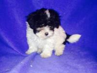 Pretty little black & white Maltipoo puppy is ready to