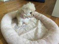 Stunning female Maltipoo! last puppy left I will be