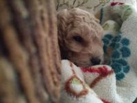 I have a beautiful little female minature poodle puppy