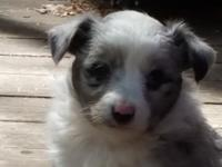 Sweet Mini-Aussie Sheltie is 7 weeks old and will be
