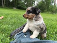 One blue merle female with amazing coat coloring and
