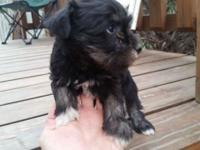 For sale a female miniature schnauzer pup. She has some