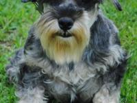 CKC Female Miniature Schnauzer. 21/2 Years old. Spayed.