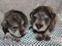 Female Schnauzer Puppies. 4 weeks old. $800 each. UTD