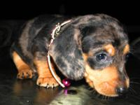 I have a female silver dapple dachshund, also have two