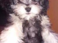 I have an amazing puppy for you a mixed toy poddle &