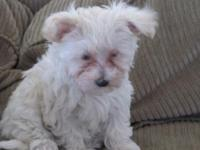 12 week old RARE blonde girl Morkie readily available.