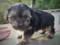 2 female morkie puppies left. These puppies are well