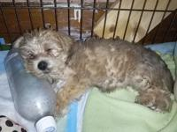 1 Female(Maltese/Yorkie) Morkie young puppy for sale.