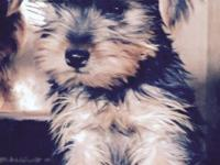 Very cute morkie puppy for sale. She is 12 weeks old,