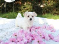 Hi! I'm a female Morkie (maltese, yorkie) puppy looking