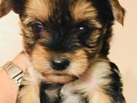 I have 3 female morkies Available, they are 8 weeks old