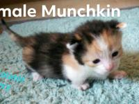 Female munchkin, calico, very low, Will be ready in mid