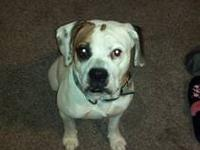 Miss Haggie is a three year old Olde English BUlldogge.