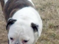 1 women olde english bulldogge available for sale!