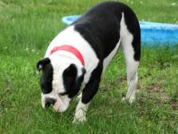 Beautiful Black and White Female Olde English Bulldogge