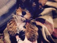AKC female yorkie puppy 8 weeks old first shots serious