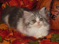 I have a very unusual female Persian Kitten for sale,