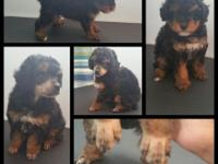 Beautiful female phantom toy poodle that will be ready