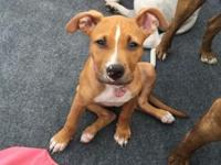 My puppy Hunny is a 3 month old female pit mix pup that