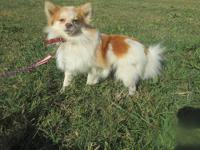 Female Pomeranian looking for a new loving home. Prefer