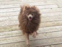 We have a women CKC signed up pomeranian for sale. She