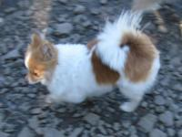I have a 31/2 -4 yr. old female Pomeranian for sale.