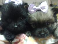 Girl Pomeranian new puppies. They are 5 weeks old. Just