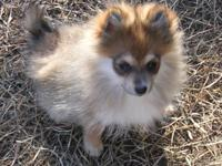 I have one female orange/sable Pomeranian puppy for
