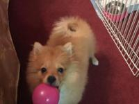 I have a female Pomeranian born on 5/11/2015. She is an