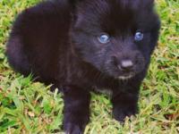Lucy, female Pomsky Puppy (Siberian Husky x