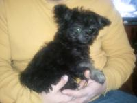 D.O.B.12/25/12 mom is miniature poodle sire is