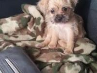 7 week old female toy poodle and toy shih Tzu. Very
