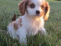I have a super cute female Cavalier puppy named