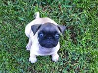 Female Pug, born July 23 2012. Had all of her puppy