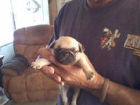 This is the last little lady Pug I have for sale
