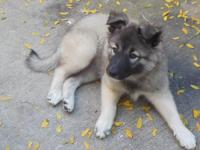 9 week old purebred female German Shepherd puppy. She