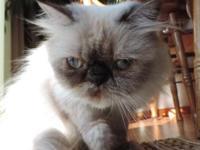 Female Purebred Himalayan, not fixed, good with kids,