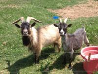 We have an adult female Pygmy goat. She has been