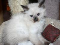 Female Ragdoll Ready For The Forever Home. $300.00 I