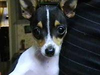 We have a 5 year old female Rat Terrier that we are
