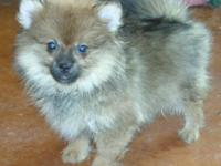 SWEET AND FLUFFY FEMALE RED SABLE POMERANIAN. This