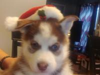 Female Siberian Husky Puppy Red & White with Blue Eyes
